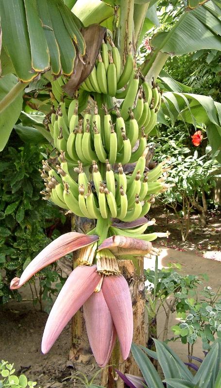 פרחי בננה למתכונים מיוחדים